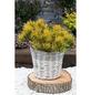 Kiefer mugo Pinus »Carstens Wintergold «-Thumbnail
