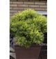 Kiefer mugo Pinus »Carsten's Wintergold«-Thumbnail