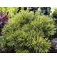 Kiefer mugo Pinus »Wintergold«-Thumbnail