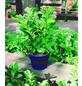 Kirschlorbeer, Prunus laurocerasus »Etna«, Lieferhöhe: 40 - 60 cm-Thumbnail