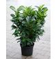 GARTENKRONE Kirschlorbeer Prunus laurocerasus »Etna -R-«-Thumbnail