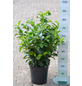GARTENKRONE Kirschlorbeer, Prunus laurocerasus »Etna «, weiß, winterhart-Thumbnail