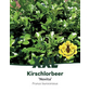 Kirschlorbeer, Prunus laurocerasus »Novita«, Blütenfarbe weiß-Thumbnail