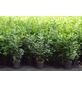 GARTENKRONE Kirschlorbeer, Prunus laurocerasus »Novita«, weiß, winterhart-Thumbnail