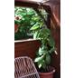GARTENKRONE Kiwi Actinidia chinensis »Jenny«-Thumbnail