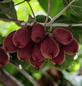 Kiwi, Actinidia  »Duo«, Früchte: grün, essbar-Thumbnail