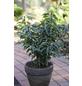 Kleinblättrige Portug. Lorbeerkirsche, Prunus lusitanica »Angustifolia«, Blütenfarbe weiß-Thumbnail