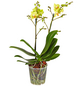 GARTENKRONE Kleinblumige Schmetterlingsorchidee, Phalaenopsis Hybride, Blüte: gelb, im Topf-Thumbnail