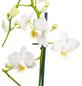 GARTENKRONE Kleinblumige Schmetterlingsorchidee, Phalaenopsis Hybride, Blüte: weiß, im Topf-Thumbnail