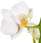 GARTENKRONE Kleinblumige Schmetterlingsorchidee Phalaenopsis Hybride, weiß-Thumbnail