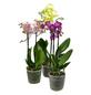 Kleinblumige Schmetterlingsorchidee, Phalaenopsis Hybriden, Blüte: gemischt-Thumbnail