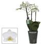 Kleinblumige Schmetterlingsorchidee, Phalaenopsis multiflora, Blüte: weiß-Thumbnail