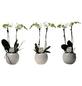 Kleinblumige Schmetterlingsorchidee, Phalaenopsis multiflora »Kolibri«, Blüte: weiß-Thumbnail