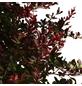GARTENKRONE Kleine Blutberberitze Berberis thunbergii »Atropurpurea Nana'«-Thumbnail