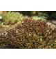 GARTENKRONE Kleine Blutberberitze, Berberis thunbergii »Atropurpurea Nana«, gelb, winterhart-Thumbnail