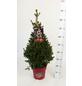 Kleine Fichte abies Picea »Little Santa«-Thumbnail