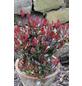 Kleine Glanzmispel, Photinia fraseri »Little Red Robin«, Blütenfarbe weiß-Thumbnail