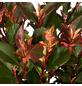 GARTENKRONE Kleine Glanzmispel, Photinia fraseri »Little Red Robin«, weiß, winterhart-Thumbnail