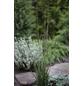 Kleines Garten-Pfeifengras caerulea Molinia »Heidezwerg«-Thumbnail