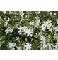 Kleines Immergrün Vinca minor »Brazil«-Thumbnail