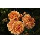 KORDES ROSEN Kleinstrauchrose Rosa  »Bentheimer Gold®«-Thumbnail