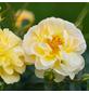 ROSEN TANTAU Kleinstrauchrose Rosa hybride »Bienenweide«-Thumbnail