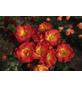 KORDES ROSEN Kleinstrauchrose Rosa  »Summer of Love®«-Thumbnail