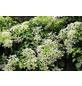 Kletter-Hortensie Hydrangea petiolaris 'Cordifolia' Hydrangea »Cordifolia«-Thumbnail
