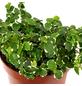 GARTENKRONE Kletterfeige Ficus pumila-Thumbnail