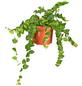 GARTENKRONE Kletterfeige Ficus pumila grün-Thumbnail