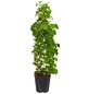 GARTENKRONE Kletterhortensie Hydrangea petiolaris-Thumbnail