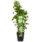 GARTENKRONE Kletterhortensie, Hydrangea petiolaris, creme, winterhart-Thumbnail