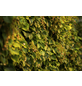 GARTENKRONE Kletterhortensie petiolaris Hydrangea-Thumbnail