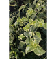 Kletterhortensie petiolaris Hydrangea »Silver Lining«-Thumbnail