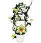 EXOTENHERZ Kletternde Leuchterblume, Ceropegia sandersonii, Blütenfarbe: grün-Thumbnail