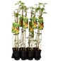GARTENKRONE Kletterpflanze »Campsis Flava«-Thumbnail