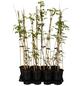 GARTENKRONE Kletterpflanze »Campsis Mme Galen«-Thumbnail
