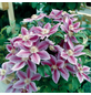 GARTENKRONE Kletterpflanze »Clematis Dr. Ruppel«-Thumbnail