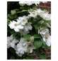 GARTENKRONE Kletterpflanze »Clematis Madame Le Coultre«-Thumbnail