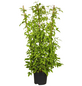 GARTENKRONE Kletterpflanze »Clematis montana«-Thumbnail