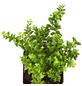 GARTENKRONE Kletterpflanze »Lonicera Nitida Maigrün«-Thumbnail