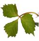 GARTENKRONE Kletterpflanze »Parthe. tri Veitchii Robusta«-Thumbnail