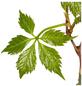 GARTENKRONE Kletterpflanze »Parthenocissus Engelmanii«-Thumbnail