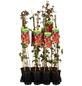 GARTENKRONE Kletterpflanze »Parthenocissus quinquefolia«-Thumbnail