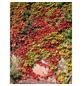 GARTENKRONE Kletterpflanze »Parthenocissus tricuspidata«-Thumbnail