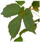GARTENKRONE Kletterpflanze »Parthenocissus Veitchii«-Thumbnail