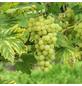 GARTENKRONE Kletterpflanze »Weinrebe«, Weiß-Thumbnail