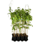 GARTENKRONE Kletterpflanze »Wisteria flo.Longissima Alba«-Thumbnail