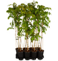 GARTENKRONE Kletterpflanze »Wisteria floribunda Rosea«-Thumbnail