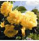 ROSEN TANTAU Kletterrose »Dukat«, Blüte: gelb-Thumbnail